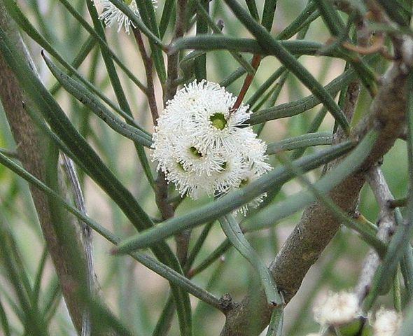 Eukalyptus (Quelle: wikipedia, Melburnian)