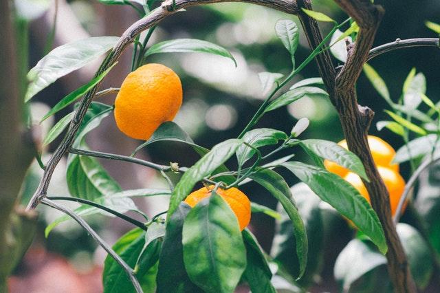 Orangenfrüchte am Baum (Quelle: pexels.com/@tookapic)