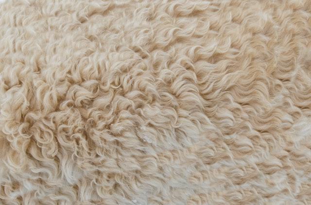 Flauschiges Schaffell, die Tiere haben einen eingebauten Weichspüler (Quelle: Lukas)